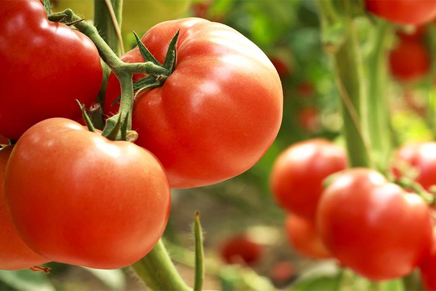 pomodori serre idroponiche