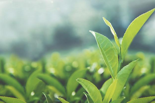 Green tea leaves in a field
